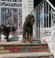 Cane Corso Puppies for sale in Hempstead, NY 11550, USA. price: NA