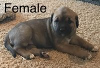 Cane Corso Puppies for sale in Munfordville, KY 42765, USA. price: NA