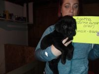 Cane Corso Puppies for sale in Youngstown, OH 44502, USA. price: NA