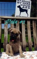 Cane Corso Puppies for sale in Lindsay, CA 93247, USA. price: NA