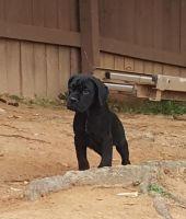 Cane Corso Puppies for sale in Palmetto, GA, USA. price: NA