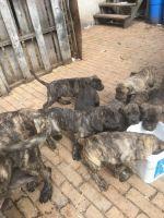 Cane Corso Puppies for sale in Philadelphia, PA 19132, USA. price: NA