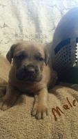 Cane Corso Puppies for sale in Ossian, IN 46777, USA. price: NA