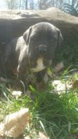 Cane Corso Puppies for sale in Seymour, IN 47274, USA. price: NA