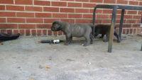 Cane Corso Puppies for sale in College Park, GA, USA. price: NA