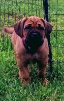 Cane Corso Puppies for sale in Grant, FL 32949, USA. price: NA