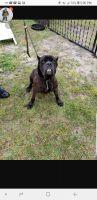 Cane Corso Puppies for sale in Parkton, NC 28371, USA. price: NA