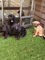 Cane Corso Puppies for sale in Chesterfield, VA 23832, USA. price: NA
