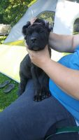 Cane Corso Puppies for sale in Coitsville-Hubbard Rd, Youngstown, OH 44505, USA. price: NA