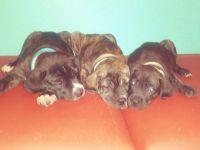 Cane Corso Puppies for sale in North Charleston, SC, USA. price: NA