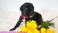 Cane Corso Puppies for sale in Suffolk, VA, USA. price: NA