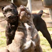 Cane Corso Puppies for sale in Orange County, CA, USA. price: NA