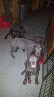 Cane Corso Puppies for sale in Maple Heights, OH, USA. price: NA