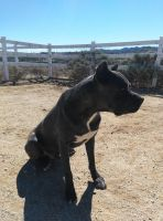 Cane Corso Puppies for sale in 17600 Log Hill Dr, Riverside, CA 92504, USA. price: NA