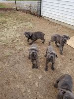 Cane Corso Puppies for sale in Springfield, OH, USA. price: NA