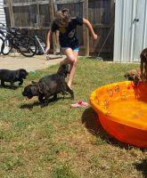 Cane Corso Puppies for sale in Tinley Park, IL, USA. price: NA