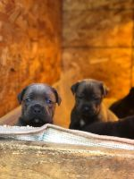 Cane Corso Puppies for sale in Gresham, OR, USA. price: NA