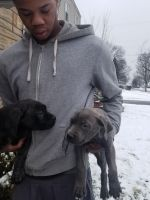 Cane Corso Puppies for sale in Cleveland, OH, USA. price: NA