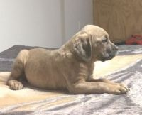 Cane Corso Puppies for sale in Cleveland, OH 44111, USA. price: NA