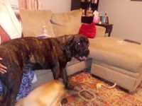 Cane Corso Puppies for sale in Newberry, SC 29108, USA. price: NA