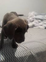 Cane Corso Puppies for sale in Waterford Twp, MI, USA. price: NA