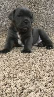 Cane Corso Puppies for sale in Houston, OH 45333, USA. price: NA