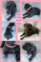Cane Corso Puppies for sale in Pleasantville, PA 15521, USA. price: NA