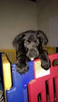 Cane Corso Puppies for sale in Westfield, NJ 07090, USA. price: NA