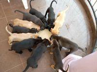 Cane Corso Puppies for sale in Istanbul St, Interlachen, FL 32148, USA. price: NA