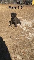 Cane Corso Puppies for sale in Hamlet, NC 28345, USA. price: NA