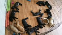 Cane Corso Puppies for sale in Wilmar, AR 71675, USA. price: NA