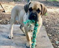 Cane Corso Puppies for sale in Montevallo, AL 35115, USA. price: NA