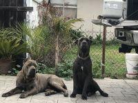 Cane Corso Puppies for sale in La Puente, CA, USA. price: NA