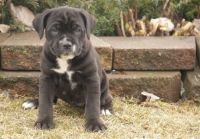 Cane Corso Puppies for sale in Hutchinson, KS, USA. price: NA