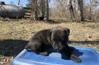 Cane Corso Puppies for sale in Bethesda, MD, USA. price: NA
