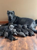 Cane Corso Puppies for sale in Canton, OH, USA. price: NA