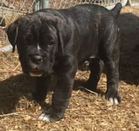 Cane Corso Puppies for sale in Jackson, MS, USA. price: NA
