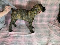 Cane Corso Puppies for sale in Opelika, AL, USA. price: NA