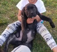 Cane Corso Puppies for sale in Charlotte, NC 28214, USA. price: NA