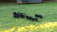 Cane Corso Puppies for sale in Conyers, GA, USA. price: NA