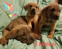 Cane Corso Puppies for sale in Madison, OH 44057, USA. price: NA