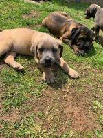 Cane Corso Puppies for sale in Des Plaines, IL 60018, USA. price: NA