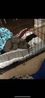 Cane Corso Puppies for sale in Griffith, IN, USA. price: NA