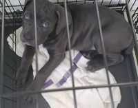 Cane Corso Puppies for sale in Bergenfield, NJ, USA. price: NA