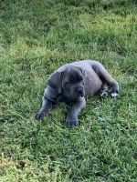 Cane Corso Puppies for sale in Magee, MS, USA. price: NA