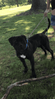 Cane Corso Puppies for sale in Springfield, MA, USA. price: NA