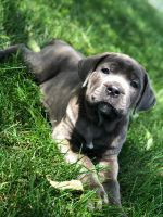 Cane Corso Puppies for sale in York, PA, USA. price: NA