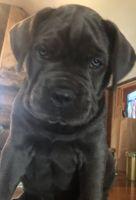 Cane Corso Puppies for sale in Barrington, RI, USA. price: NA