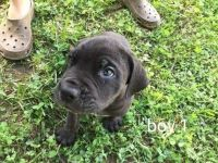 Cane Corso Puppies for sale in Lula, GA 30554, USA. price: NA