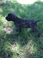 Cane Corso Puppies for sale in Tupelo, MS, USA. price: NA